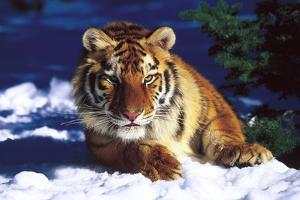 Tiger on Snow with Spruce Trees in Background (Captive Animal) by Lynn M. Stone