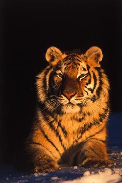 Tiger (Panthera Tigris) Reclining in Snow at Sunset, Captive, Range- Asia Enangered Species by Lynn M. Stone