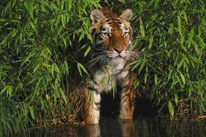 Tiger (Panthera Tigris) Stepping from Bamboo Thicket into Pond (Captive) Endangered Species by Lynn M. Stone