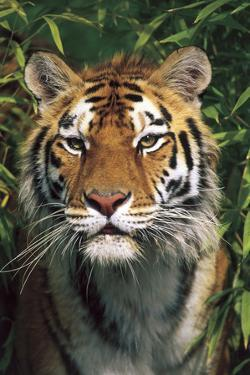 Tiger Portrait by Bamboo Leaves (Captive Animal) by Lynn M. Stone