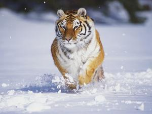 Tiger Running in Snow by Lynn M. Stone
