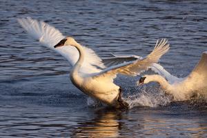 Trumpeter Swan (Cygnus Buccinator) by Lynn M. Stone