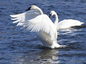 Trumpeter Swan Stretching Wings by Lynn M. Stone