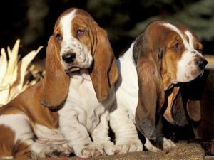 Two Bassett Hound Pups by Lynn M. Stone