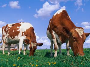 Two Cows Grazing in a Field by Lynn M. Stone
