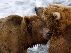 Two Grizzly Bears Rubbing Heads, Alaska by Lynn M. Stone