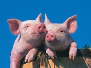 Two Pigs in a Bushel by Lynn M. Stone