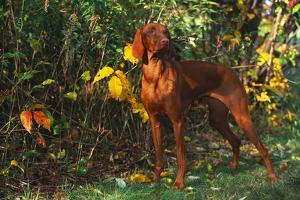 Vizsla by Yellow Autumn Leaves, Andover, Connecticut, USA by Lynn M. Stone