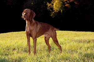 Vizsla in Late Afternoon, Back-Lit, on Grassy Plain, Guilford, Connecticut, USA by Lynn M. Stone