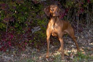 Vizsla Standing by Autumn Foliage, Guilford, Connecticut, USA by Lynn M. Stone