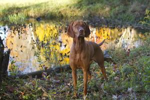 Vizsla Standing by Pool with Autumn Reflections, Pomfret, Connecticut, USA by Lynn M. Stone
