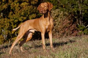Vizsla Standing on Grassy Hillock with Autumn Foliage by Lynn M. Stone