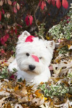 West Highland Terrier(S) in Autumn, Vernon, Connecticut, USA by Lynn M. Stone