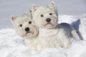 West Highland Terrier(S) in Snow, Vernon, Connecticut, USA by Lynn M. Stone
