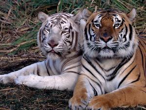 White Bengal Tigers by Lynn M^ Stone