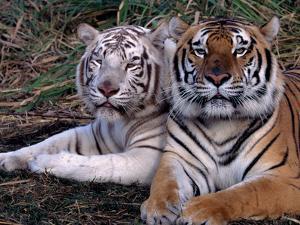 White Bengal Tigers by Lynn M. Stone