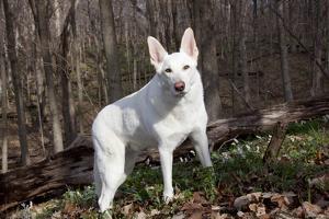 White German Shepherd Dog (Male) by Lynn M. Stone