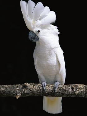 White or Umbrella Cockatoo by Lynn M. Stone