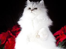 Affordable Persians Print for sale at AllPosters com