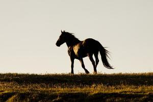 Wild Horse Stallion Running over Hill in Mountain Meadow in Early Evening by Lynn M. Stone