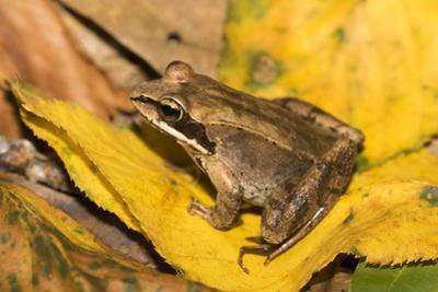 Wood Frog by Lynn M. Stone