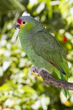 Yellow-Cheeked Amazon Parrot (Amazona Autumnalis) by Lynn M. Stone