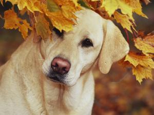 Yellow Labrador Retriever and Maple Leaves, Portrait by Lynn M^ Stone