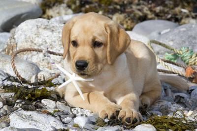 Yellow Labrador Retriever Pup Lying in Seaweed Wrack and Stones on Rocky Beach by Lynn M. Stone
