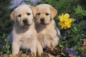 Yellow Labrador Retriever Pups Sitting in Oak Leaves and Spring Flowers, Hebron, Illinois by Lynn M. Stone