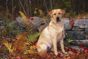 Yellow Labrador Retriever Sitting Among Ferns by Stone Wall, Connecticut, USA by Lynn M. Stone