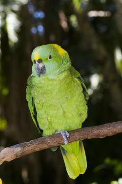 Yellow-Naped Amazon Parrot (Amazona Auropalliata) by Lynn M. Stone