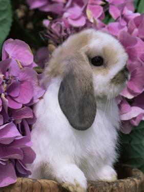 Young Lop Eared Domestic Rabbit, USA by Lynn M. Stone