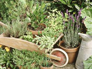Herbs in Pots Rosemary/Bay/Marjoram Sage, Wheelbarrow & Metal Jug by Lynne Brotchie
