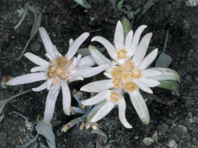 High Angle View of Edelweiss Flowers (Leontopodium Alpinum) by M. Giovanoli