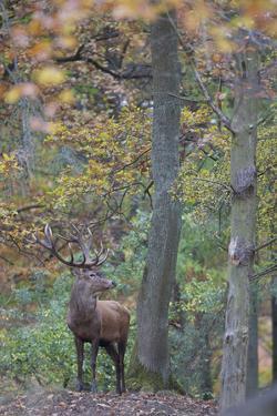 Red Deer (Cervus Elaphus) Stag in Wood During Rut, Klampenborg Dyrehaven, Denmark, October 2008 by M?llers