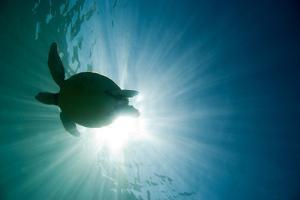 Sea Turtle by M.M. Sweet