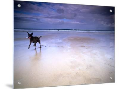 Dog on Beach with Surfers in Background, St Ives, Cornwall, England, Uk