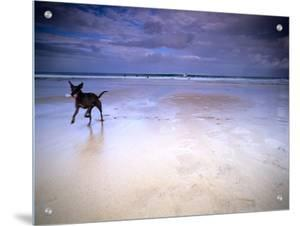 Dog on Beach with Surfers in Background, St Ives, Cornwall, England, Uk by M.N.