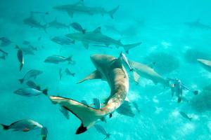 Tahiti Sharks by M Swiet Productions
