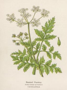 Beaked Parsley by Mabel E. Step