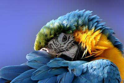https://imgc.allpostersimages.com/img/posters/macaw_u-L-Q10397U0.jpg?p=0