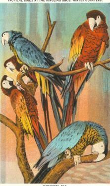 Macaws, Sarasota, Florida