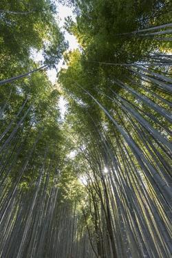 A Bamboo Forest at Sagano Bamboo Grove by Macduff Everton