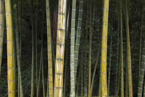 A Bamboo Forest in Koinzan Saihoji, Popularly known as Kokedera or Moss Temple by Macduff Everton