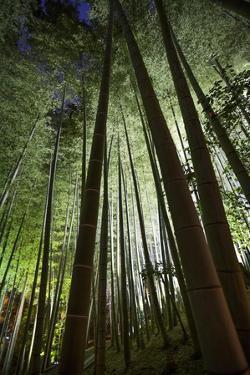 A Bamboo Forest in the Gardens of Kodai-Ji by Macduff Everton