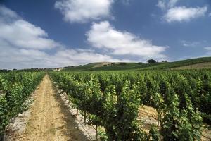 A Vineyard in Santa Ynez by Macduff Everton