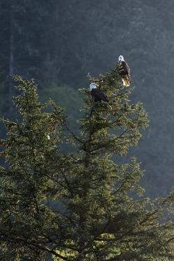 Bald Eagle, Haliaeetus Leucocephalus, Perching on a Tree by Macduff Everton