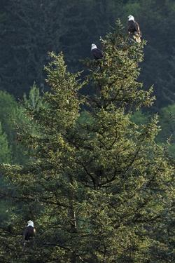 Bald Eagles, Haliaeetus Leucocephalus, Perching on a Tree by Macduff Everton