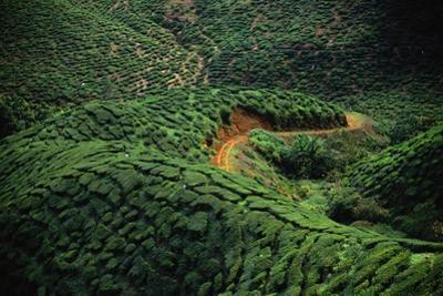 Bharat Tea Plantation Fields by Macduff Everton