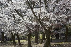 Cherry Trees in Full Bloom in Nara Park by Macduff Everton